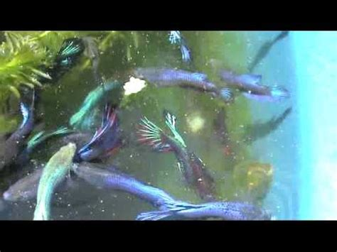 Pakan Burayak Ikan Cupang Umur 1 Minggu betta farm di jakarta timur funnycat tv