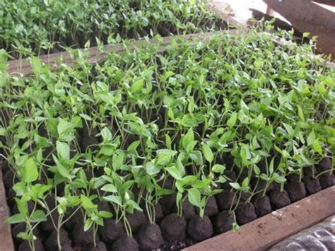 Jual Bibit Cabe Polybag cara menanam cabe rawit di pot dengan benar agar subur dan