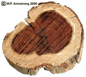why is heartwood darker in color than sapwood wood structure