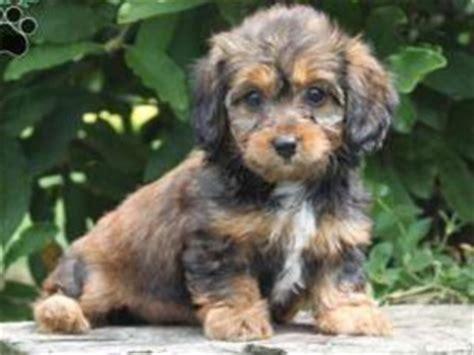 dorkie puppy dorkie puppy puppies for sale