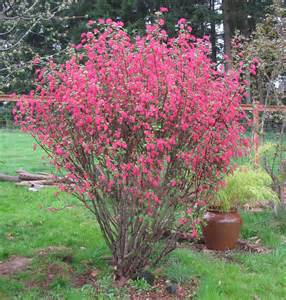 shrub with like flowers flowering currant garden arts