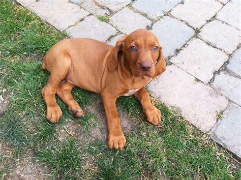 Vizsla Girl Puppy for Sale   Newark, Nottinghamshire