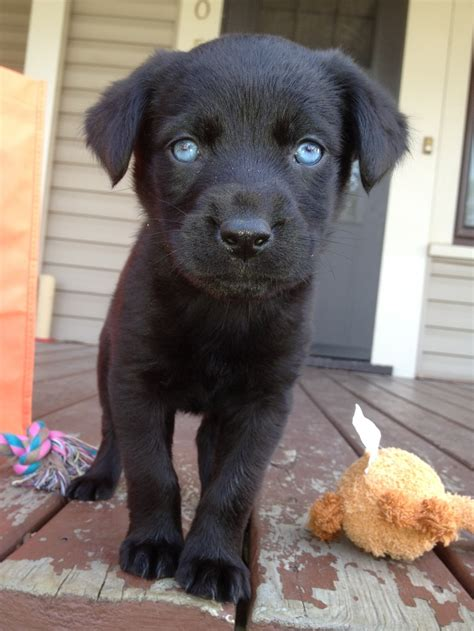 rottweiler black lab mix black lab rottweiler husky mix want