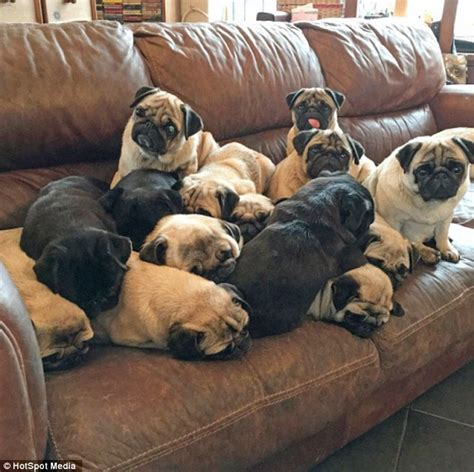 cost of pugs uk lover spends 163 20 000 on 30 pet pugs per year daily mail