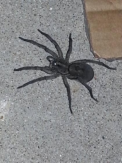 big black house spider black wolf spider black house spider hogna carolinensis bugguide net