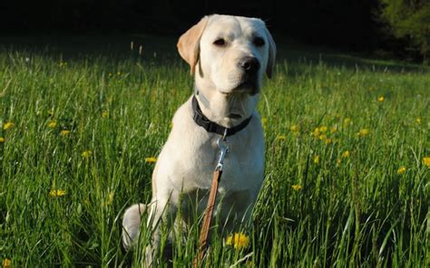 Labrador Retriever Shed by Kidney Disease In Cats Canna Pet