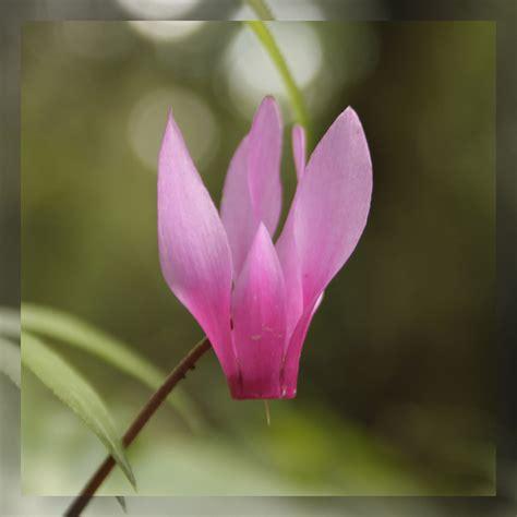 fiore ciclamino ciclamino consigli coltivazione e cura