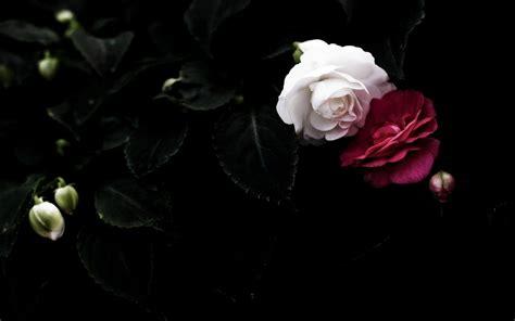 wallpaper hd black rose black roses backgrounds wallpaper cave