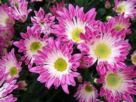 crisantemo fiore crisantemo linguaggio dei fiori crisantemo