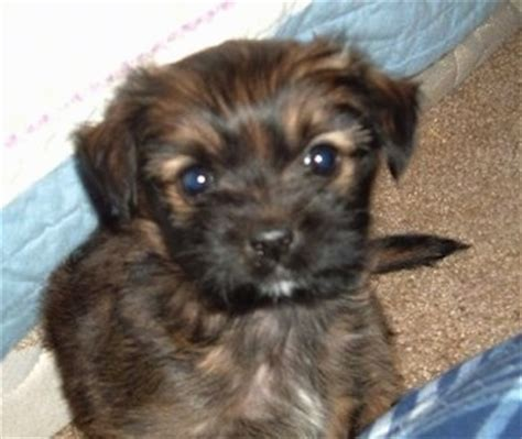 shih tzu mini pinscher mix mixed breed pictures with bios 42