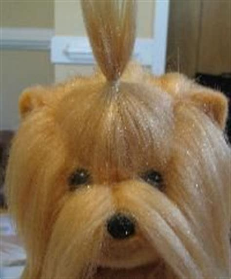 puppy cut with ponytail 45 best images about maltese haircuts on pinterest image
