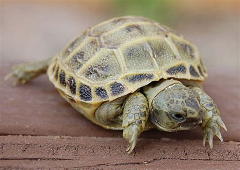 7 Tips On Caring For A Russian Tortoise by Pet Smart Tortoise Care Sheet For Turtles Tortoises