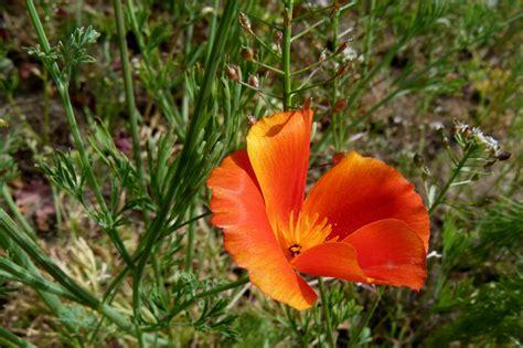california poppy california poppy fables and flora