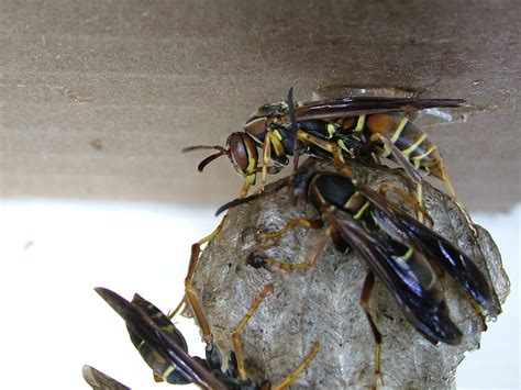How To Make A Paper Wasp - stinging insects pest by planet orange