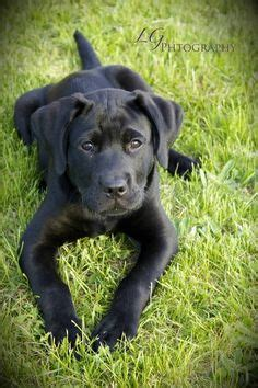 great dane puppies craigslist great dane lab mix labradanes on lab mixes great dane mix and