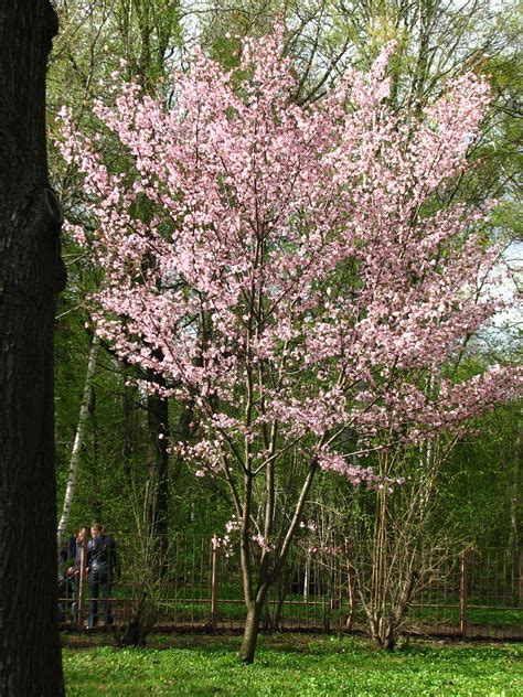 cherry tree zone 4 1000 images about ornamental trees for zone 4 5 on