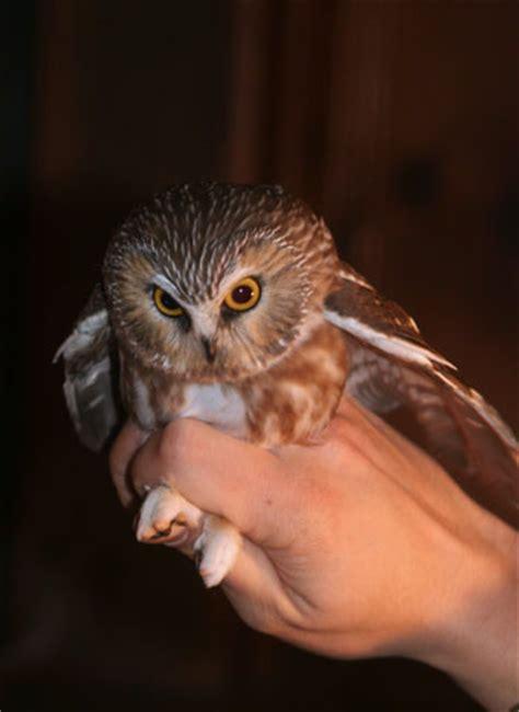 molting owl