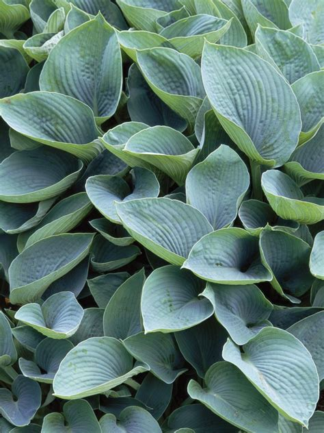 shade loving foliage plants the best shade loving plants plants for shade hgtv