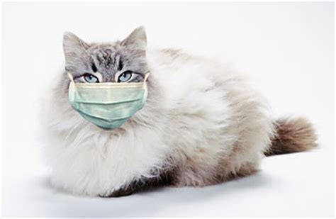 cat couching i can has swine flu cat catches h1n1 first case in pet