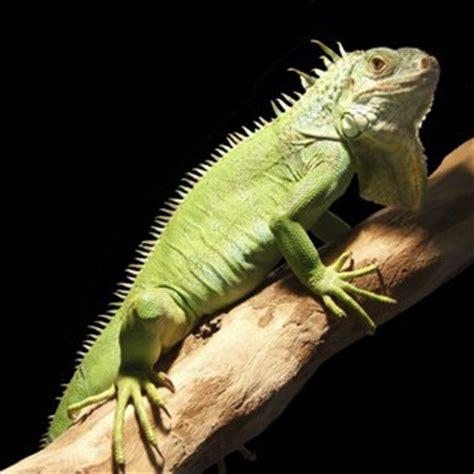 imagenes de iguanas blancas iguana verde iguana comum saiba mais no guia de bichos