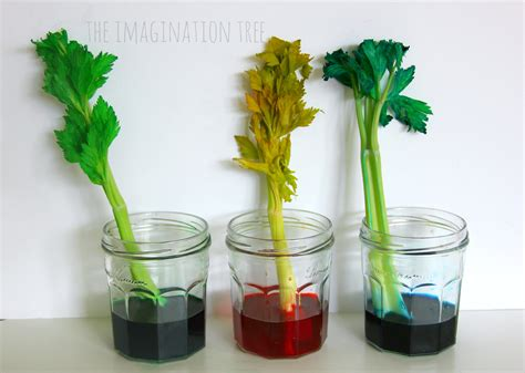 What To Put In A Clear Glass Vase Dyed Celery Experiment Transpiration Demonstration The