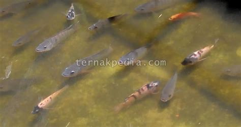 Bibit Ikan Nila Merah Parung harga arsip ternakpedia
