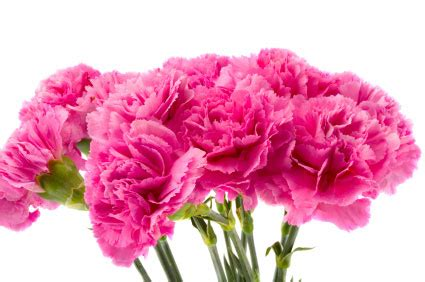 birth month flower  january  carnation
