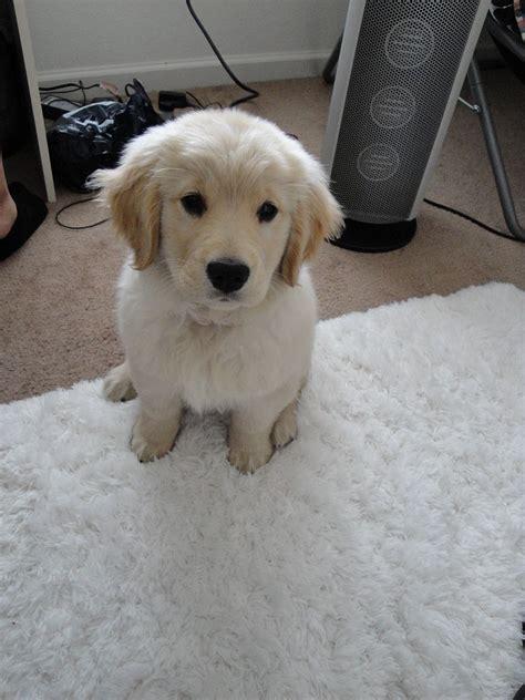 golden retriever puppies wiki file golden retriever puppy 2010 jpg