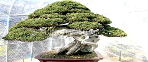 Bonsai Baum Pflege 3370 bonsai baum pflege bonsai baum pflege zu hause