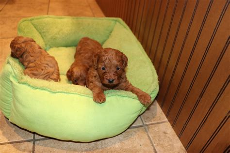 cockapoo puppies for sale in nj happy doodles place cockapoos schnoodles ausiedoodle puppies for sale in new jersey