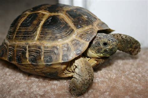 russian tortoises types of pet tortoises how to take care of a turtle