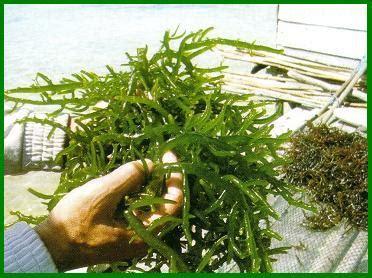 Ton Nasa Lele budidaya rumput laut panduan budidaya agro