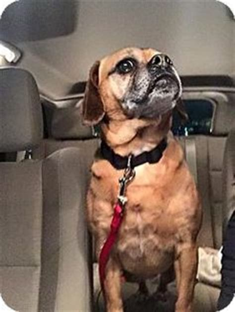 pugs for adoption in ma wooster oh pug beagle mix meet a for adoption mar rescue