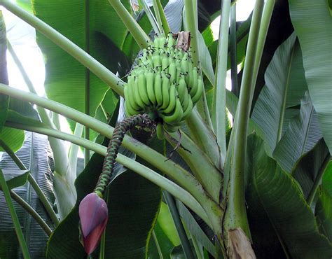 stauden pflanzen banana plant meddic