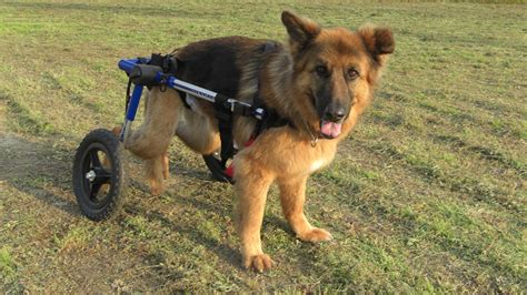 disabled dogs for adoption why adopt a disabled tails
