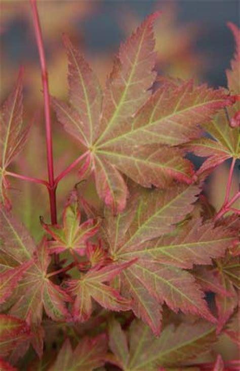 johnnie s johnnie s pink acer palmatum johnnies pink whitman