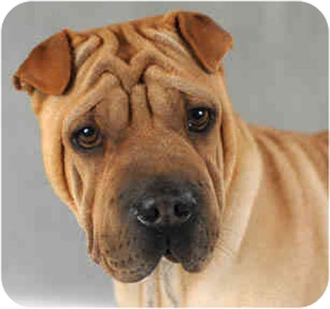 shar pei and pug mix fatal attacks in the united states autos post