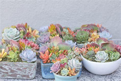 succulent arrangements succulent collection i dream of succuentsi dream of