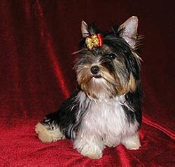 yorkie history history of the biewer yorkie