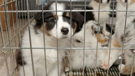 puppy mills in nj the new jersey senate s new bill is a win for rescue animals