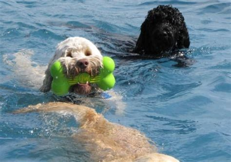doodle swimming 46 best images about australian labradoodles on