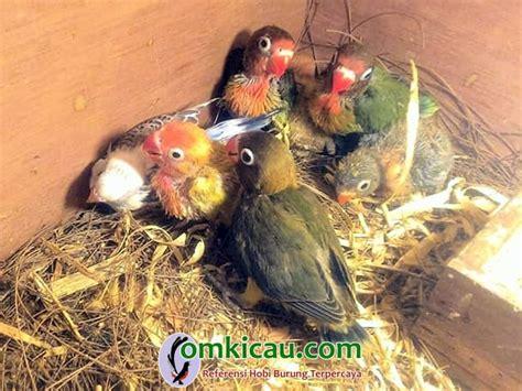 Pakan Lolohan Untuk Kenari rcg15 bird farm bekasi produksi bubur lolohan untuk anakan