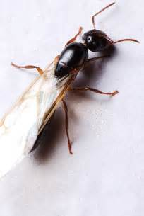 winged ants pest control facts information pest