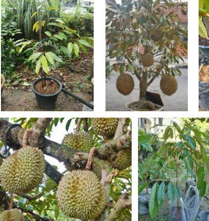Benih Pepaya Emas pembekal benih durian monthong muar bantal emas