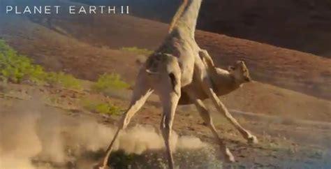 cadena alimenticia jirafa jirafa golpea a una leona en 193 frica video
