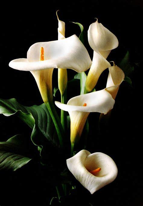 Imagenes De Flores Alcatraces   pin alcatraces flores blancas imgenes fotos pictures anny