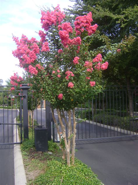 where to buy trees buy flowering trees in ta brandon apollo riverview