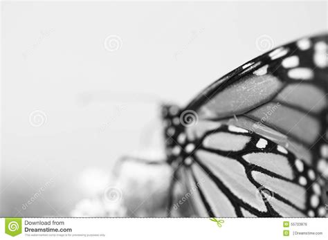 imagenes en blanco y negro de mariposas mariposa de monarca en blanco y negro foto de archivo