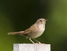 17 best images about birds in mi wrens on pinterest
