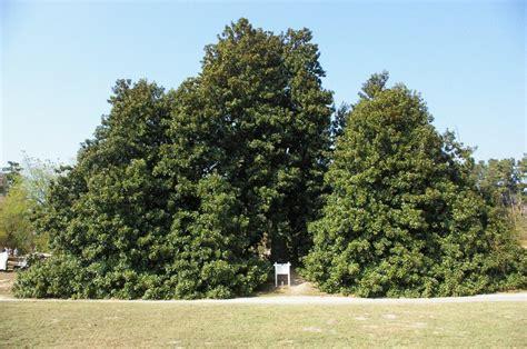 world s largest and possibly oldest magnolia tree old washington state park washington
